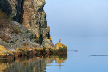Blue Heron Perched On A Rock At Watmough Bay On Lopez Island, Washington, USA
