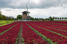 Field Of Darh Red Tulips With Windmill In The Spring In Holland
