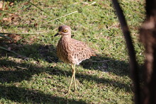 Spotted Thick Knee (Bird)