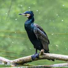 The Great Cormorant, Phalacrocorax Carbo Sitting On A Branch