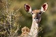 canvas print picture - Portrait of a female kudu in Kruger Park in South Africa