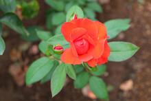 咲き始めた赤いバラの...