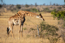 Adult Female Giraffe Eating From A Bush In Kruger Park In South Africa