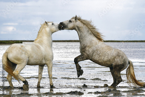 Deux chevaux de race Camargue en train de se mordre Canvas Print