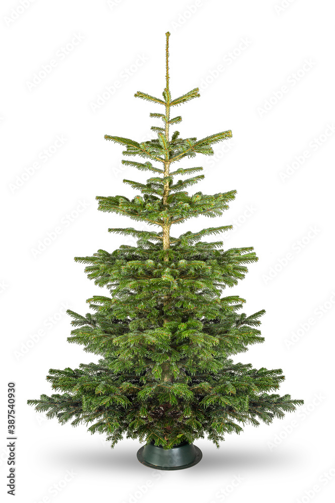 Fototapeta Empty undecorated natural  fresh green Nordmann pine christmas tree isolated in natural condition white background