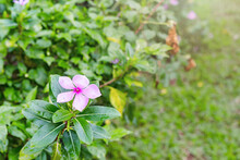 Close Up Of Pink Balsam Or Imp...