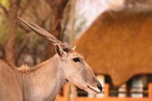 Beautiful Images  Of African Largest Antelope. Wild African Eland Antelope  Close Up