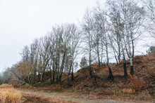 Poplar Trees Without Leaves In...