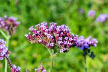 Verbena Bonariensis A Purple H...
