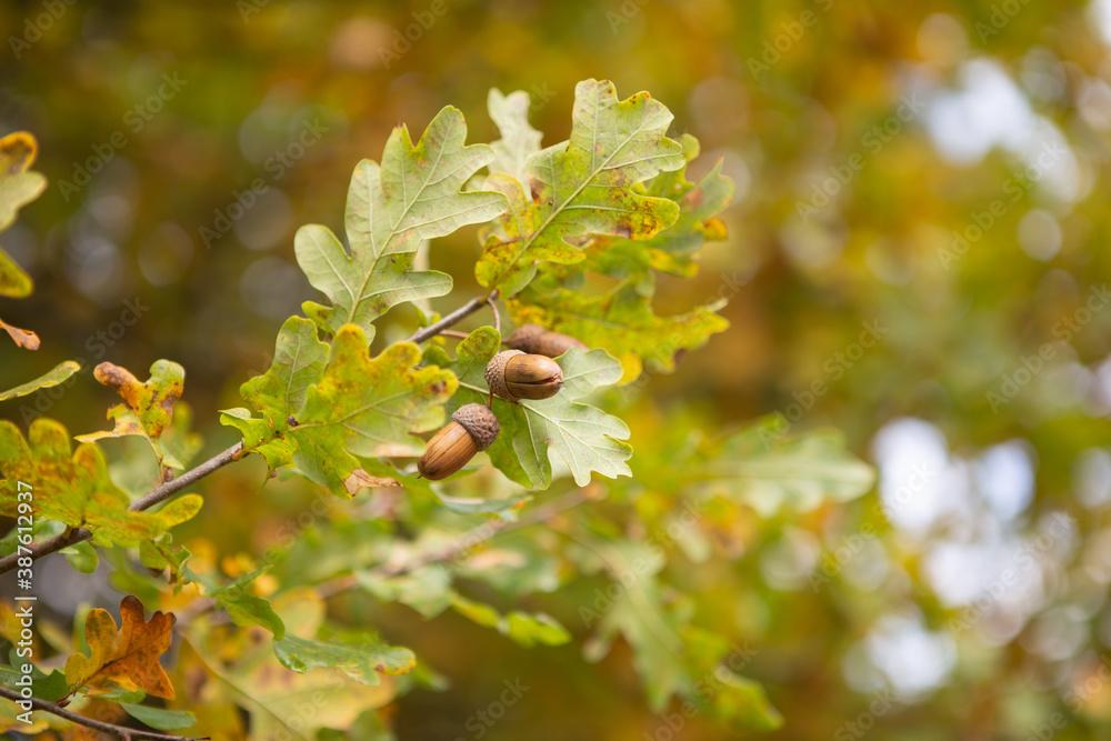 Fototapeta Jesienny żołądź na drzewie, liście drzewa - kolory jesienne.