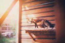 A Fox Rescued From A Fur Farm ...