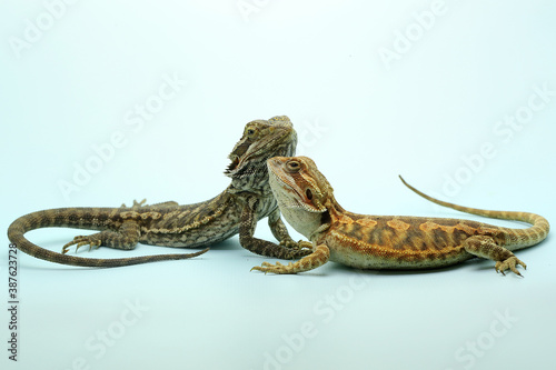 Two young bearded dragons (Pogona sp) are showing aggressive behavior Fototapeta