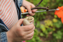 The Child Holds A Large Snail ...