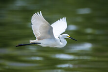 The Great White Heron Flying