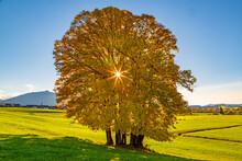 Baum - Herbst - Gelb - Leuchtend - Sonne - Panorama