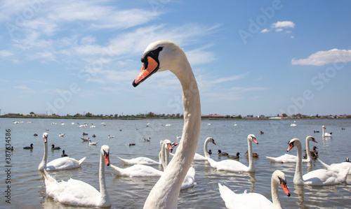 Fotomural White swan closes. Swan on the background of a flock of swans