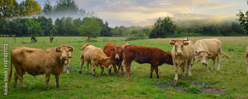 Fotografie, Obraz Panoramique les vaches au petit matin brumeux dans le marais Poitevin, Vendée en