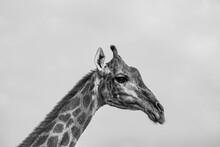 Giraffe In Black And White Pho...
