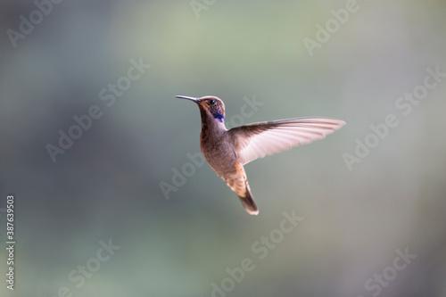 Naklejka premium Neotropical hummingbirds with iridiscent color plumage
