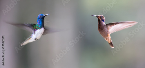 Naklejka premium Neotropical hummingbirds in flight with iridescent color plumage