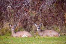 Two Young Deer Resting In A Field Near The Forest In Quebec, Canada