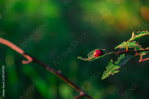 Cuadros en Lienzo ladybug on a leaf