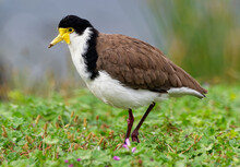 Vanellus Miles - Masked Lapwing, Wader From Australia And New Zealand. White, Brown And Yellow Water Bird