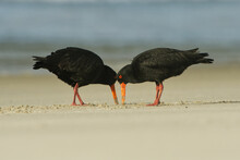 Pair Of Variable Oystercatcher - Haematopus Unicolor - Torea Feeding With Mussels On The Seaside In New Zealand