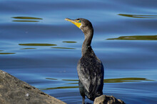 Green-eyed Cormorant By The Wa...