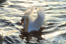 Close-up Of A Beautiful Mute Swan On A Lake. Sunlight Flowing Through The Wings Of A Water Bird. Waves And Wake Around The Animal.