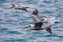 Wild Pelicans Flying Along The...