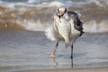 A Wild Seagull Catching Fish A...