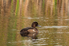 One Cinnamon Teal Duck Swimming In The Pond