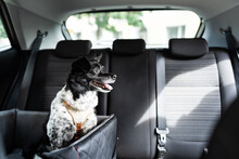 Dog In Car Seat With Safe Belt
