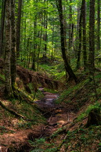 Peat Bog Forest Red Creek (Crveni Potok)  On Tara Mountain In Serbia