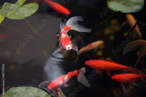 Valokuvatapetti Red fish in town pond