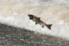 Atlantic Salmon On The River Ettrick Near To Selkirk, Scottish Borders, UK. During The Migration To Spawning Grounds