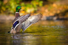 Mallard Duck Portrait In Pond