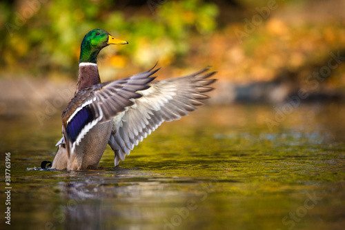 mallard duck portrait in pond Canvas-taulu