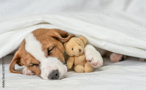 Sick jack russell terrier puppy hugs favorite toy bear and sleeps under white warm blanket on a bed at home