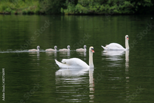 Fotomural Swan and cygnets on a lake
