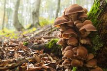 Mushrooms On Tree Trunk. Autum...
