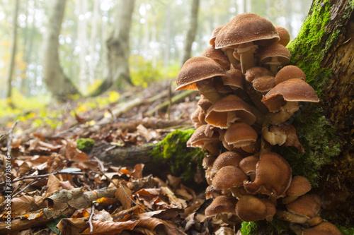 Mushrooms on tree trunk. Autumn landscape. Brown mushrooms Fototapete