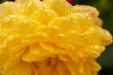 Yellow Rose With Dew Drops