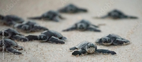 Green Sea Turtle Hatchlings Canvas