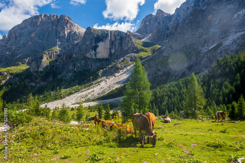 Cows grazing and resting in the high and green mountain pastures during the summer season Fotobehang