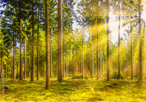 Fototapety, obrazy: Coniferous forest with moss cover on the bottom at sunrise with warm sunlight and yellow-orange halo of sun rays in backlight through the trees and beautiful effect of shady spots and sun-lit spots