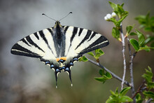 Scarce Swallowtail Butterfly Sits On Flower Bush