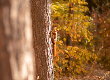 Funny Little Squirrel Climbing Tree In Autumn Park, Space For Text. Adorable Wild Animal In Its Natural Habitat