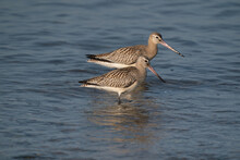 Close-up Of A Black-tailed Godwit Limosa Limosa Wader Birds Foraging In The Water. Selective Sharpness Depth